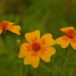 Бархатцы тонколистные Orange Gem