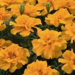 Бархатцы отклоненные SAFARI Orange