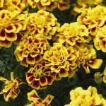 Бархатцы отклоненные SAFARI Yellow Fire