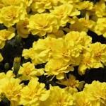 Бархатцы отклоненные SAFARI Yellow