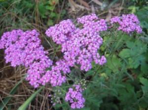 'Lilac Beauty'